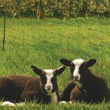 Filet moutons vert 50m H 84 cm